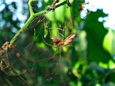 Tetragnathid eating a Tetragnathid in a small tangle web