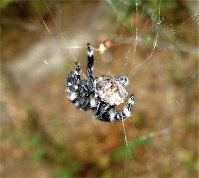 Bold jumper with orbweaver in orb web