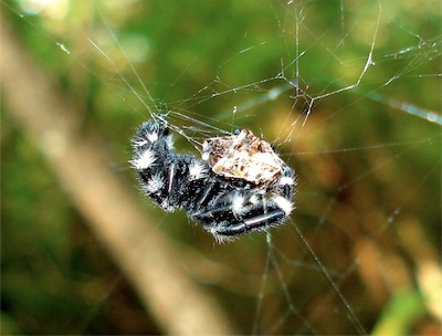 Jumping spider in an orb web Jumping Spider Web