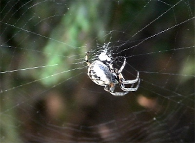 Female Furrow Spider in her orb web - still frame 2