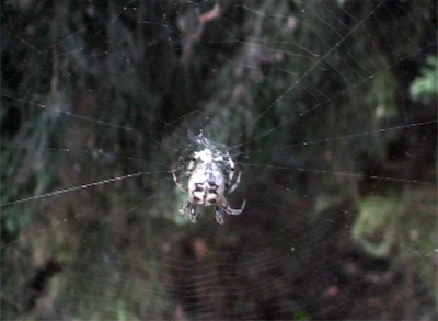 Female Furrow Spider in her orb web - still frame 1
